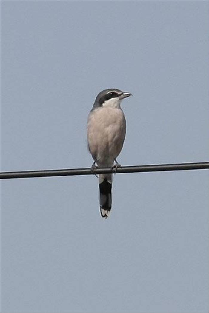 Southern Grey Shrike (John Willsher)