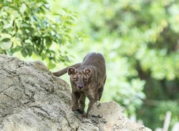 Madagascar's Mammals