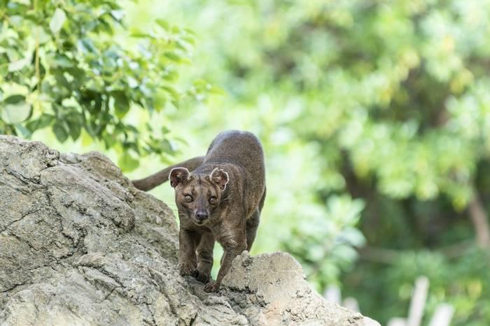 Fossa Madagascar Shutterstock 361277513