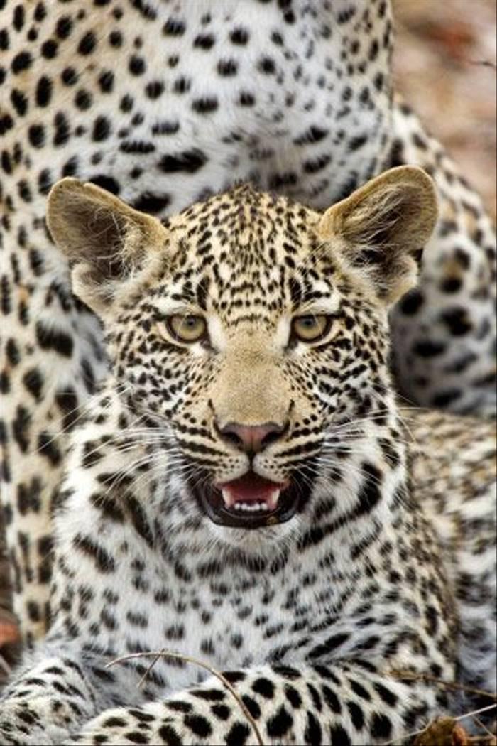 Leopard Cub (Leon Marais)