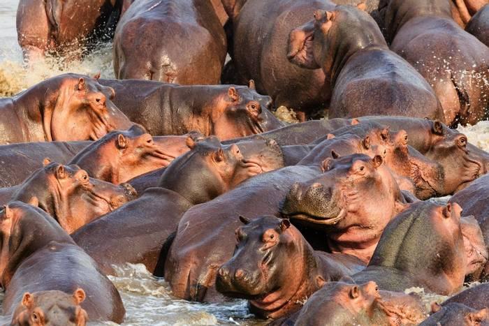 Hippos, Luangwa, Zambia shutterstock_562459846.jpg