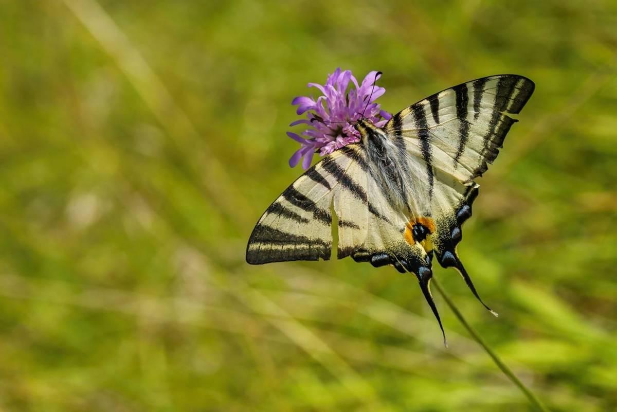 Scarce Swallowtail shutterstock_1838859001.jpg