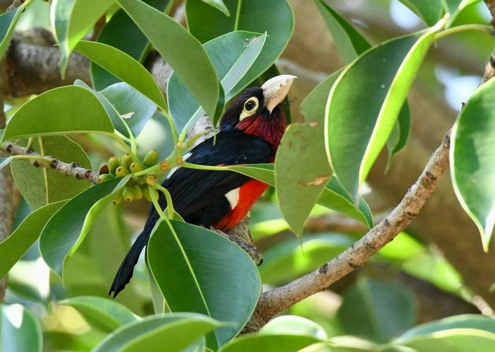 Double-toothed Barbet.jpeg