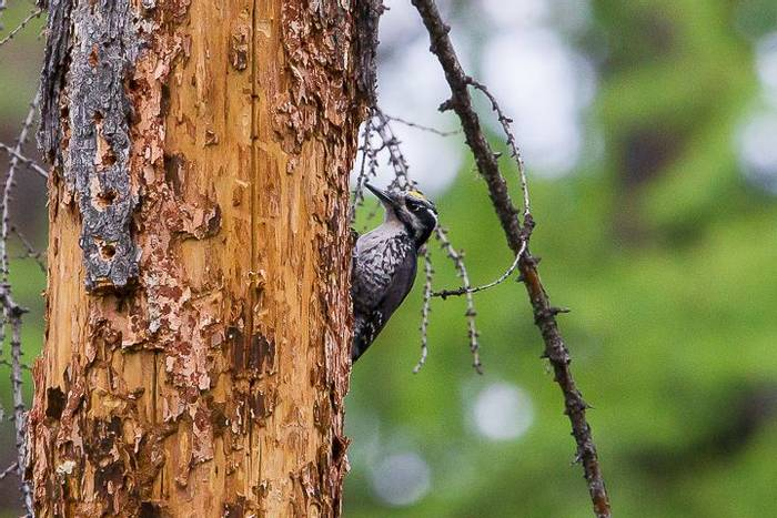 Asian Three-toed Woodpecker (Alan Curry)