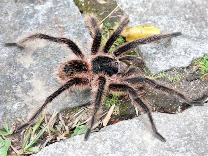 Tarantula (John Caddick)