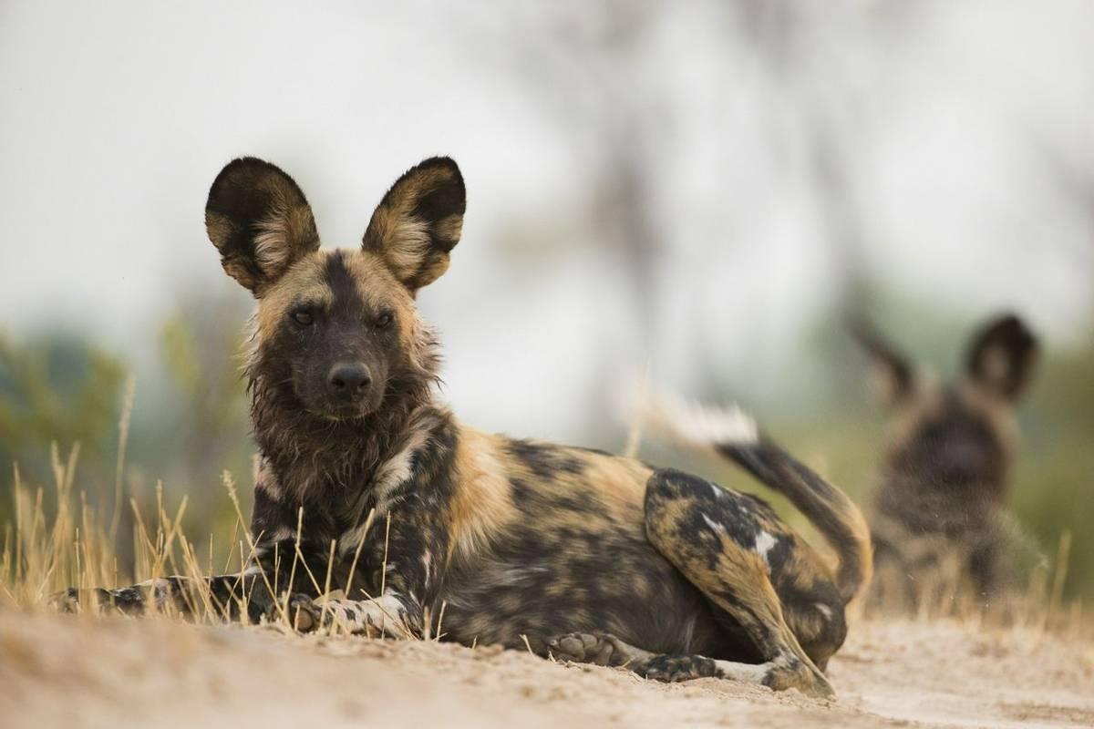 African Wild Dog Shutterstock 221310208 (1)