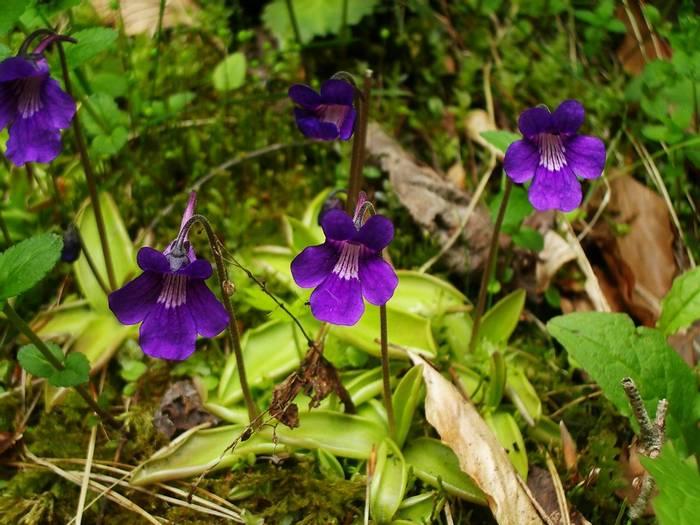 Large-flowered Butterwort.jpg