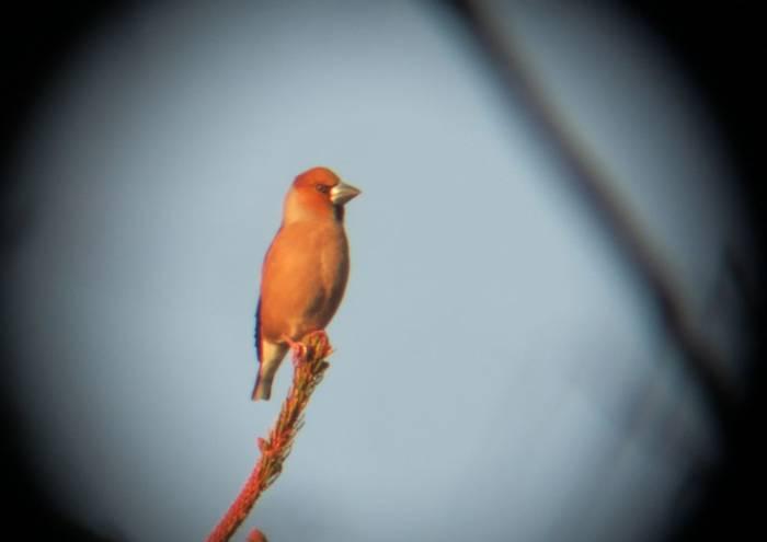 Hawfinch (Andrew Keeble)