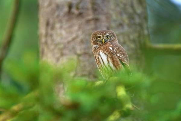 Pygmy Owl Shutterstock 369280469
