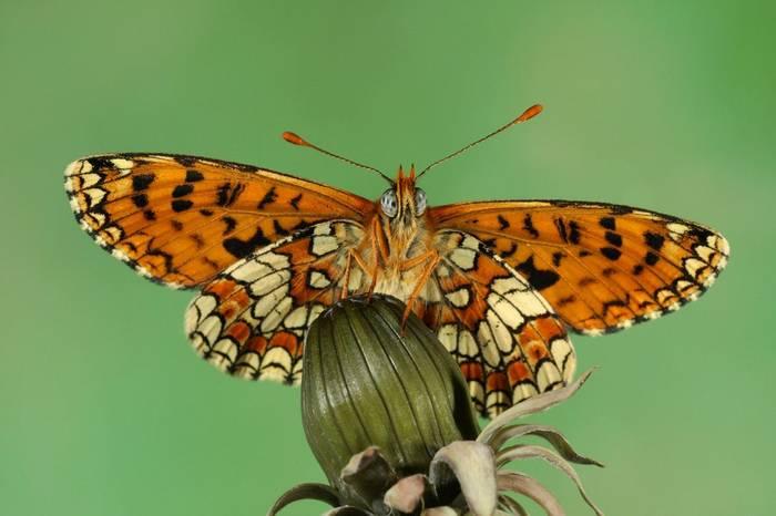 Provencal Fritillary Shutterstock 185613227