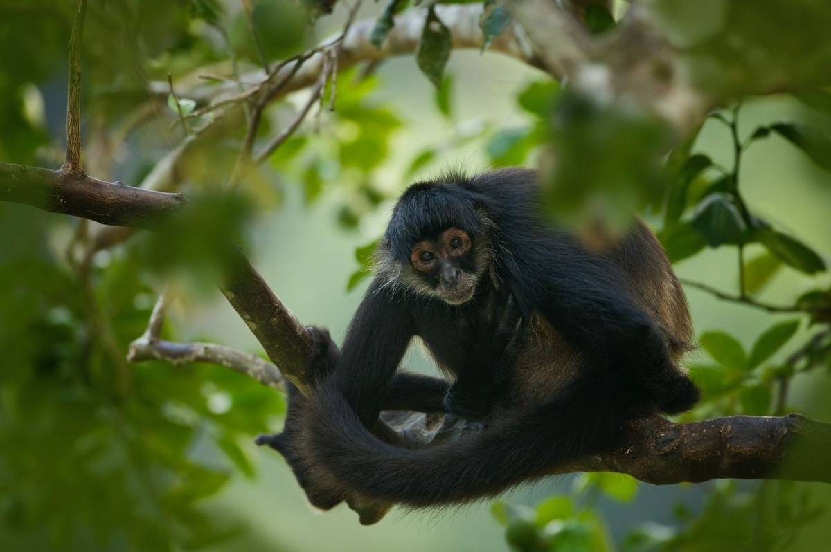 Geoffrey'S Spider Monkey, Belize Shutterstock 1017265936