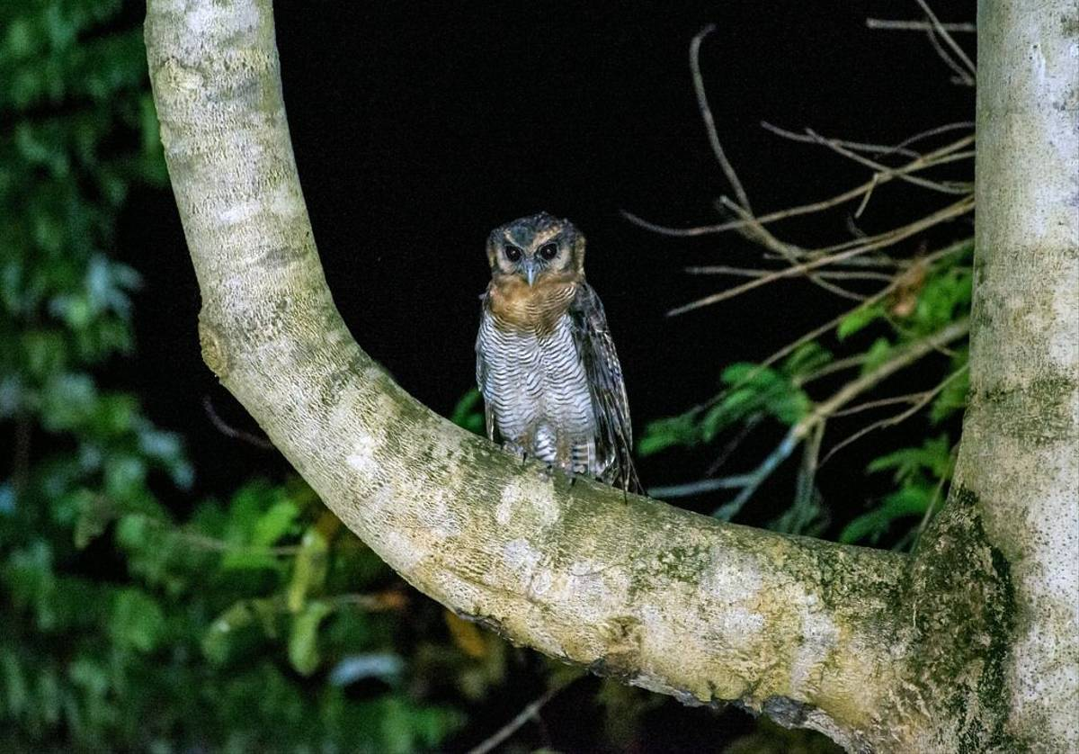 Brown Wood Owl (Clive Turnbull)