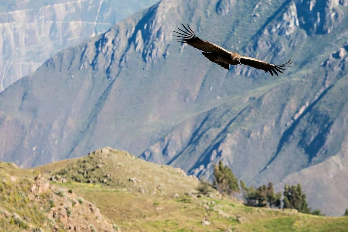 Condor flying near Cruz Del Condor viewpoint, Colca canyon, Peru