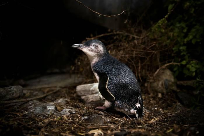 Little Penguin, Australia shutterstock_1104464072.jpg