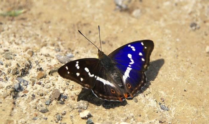 Lesser Purple Emperor Butterfly Shutterstock 245421313