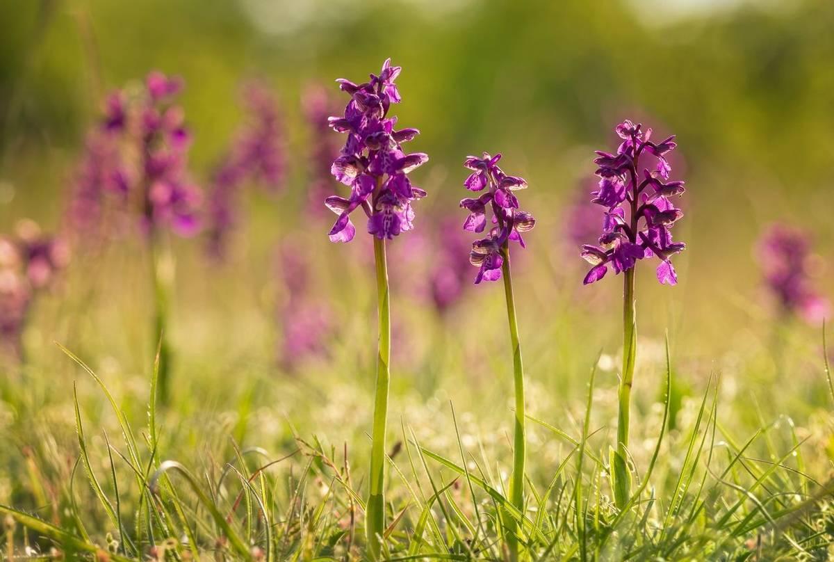 Go Slow Greece, Green-winged Orchids shutterstock_1140921836.jpg