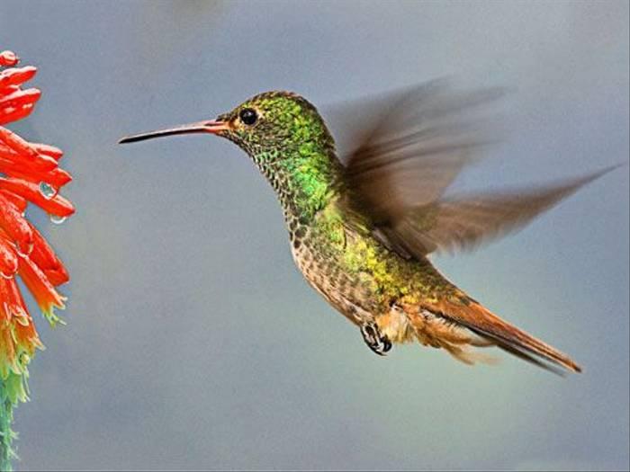 Rufous Tail Hummingbird (Ann Chase)