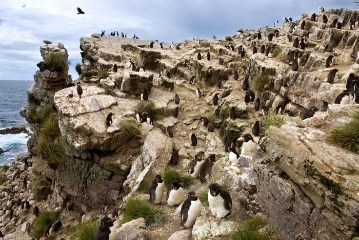 Rockhopper Penguin colony, Pebble Island, Falkland Islands shutterstock_1262081932.jpg