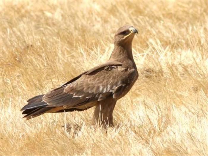 Steppe Eagle (Julia Casson)