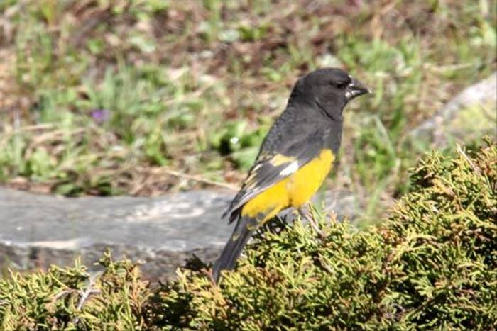 White-winged Grosbeak (Phil Haywood)