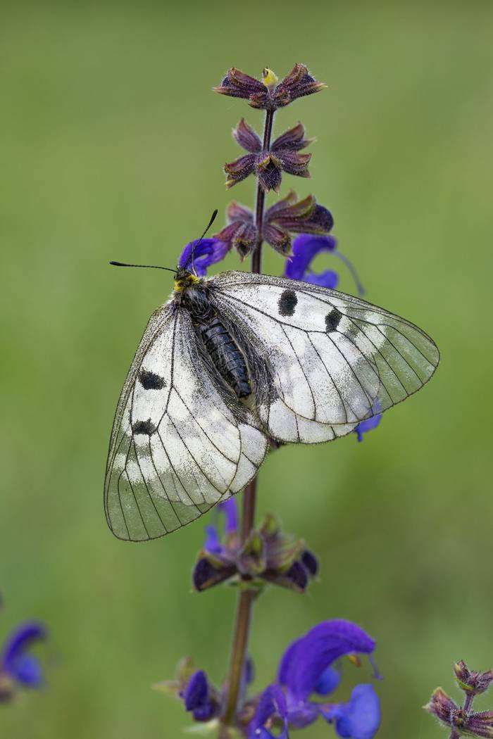 Clouded apollo Parnassius mnemosyne, basking on flower, Bükk Hills, Hungary, May