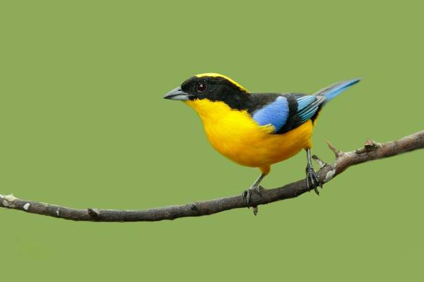 Blue-winged Mountain Tanager Shutterstock 485292070