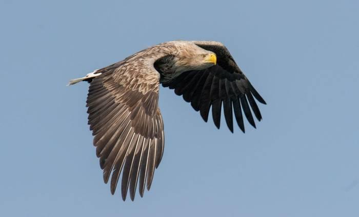 White-tailed Eagle (Lindsey Smith) (2).jpg