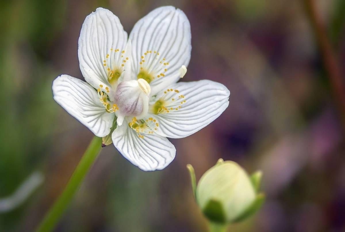 Grass-of-Parnassus (Russ Hedley).jpg