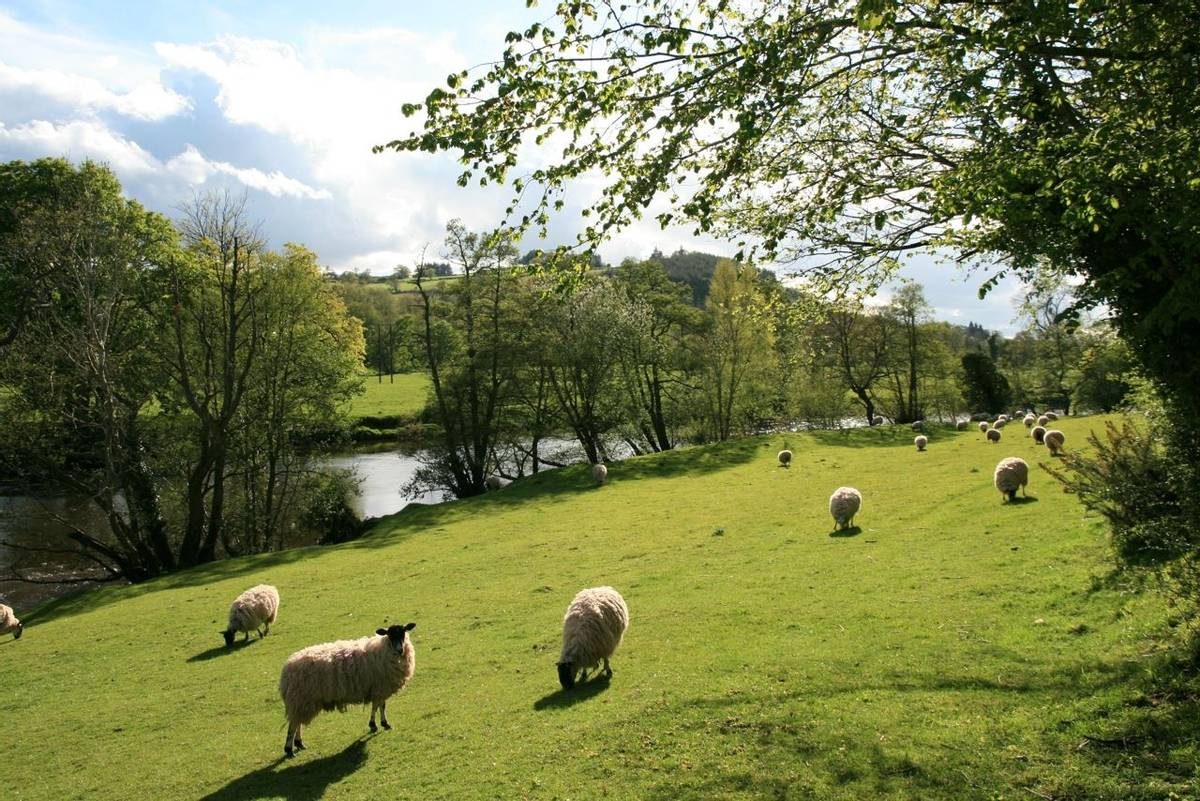 Sheep grazing next to River Usk next to Brecon Canal Tow Path.JPG