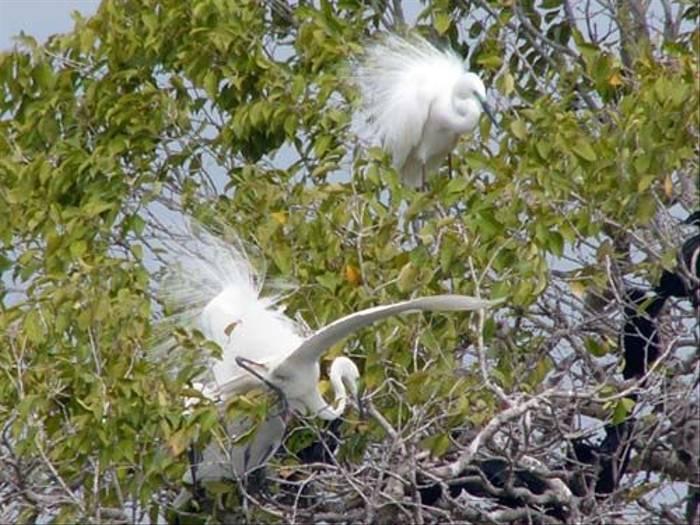 Little Egrets (Barbara Lovell)