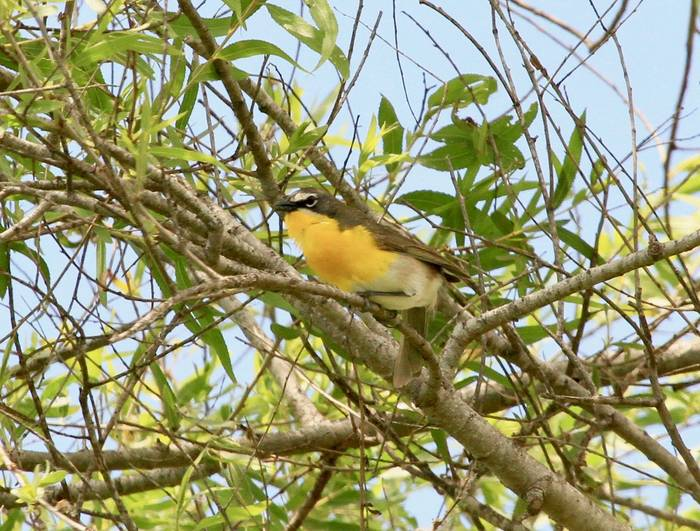 Yellow-breasted Chat.jpg