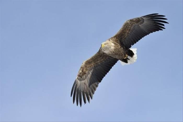 White-tailed Eagle (Jari Peltomaki)