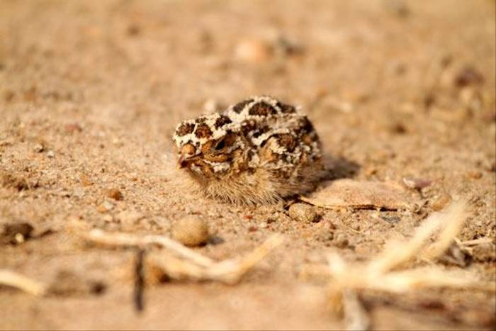 Sand Grouse chick (Bret Charman)