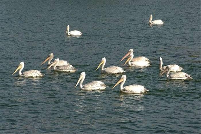 Dalmation Pelicans (David Morris)