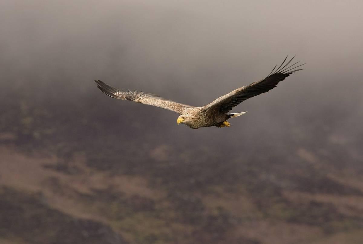UK17 286 White Tailed Sea Eagle (Haliaeetus Albicilla), Loch Na Keal, Mull