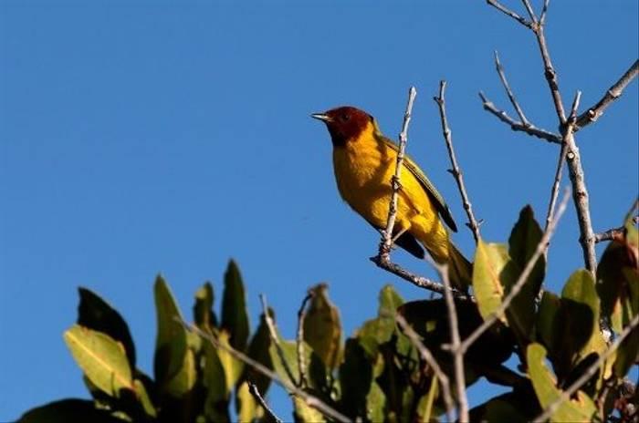 Mangrove Warbler (Lee Morgan)