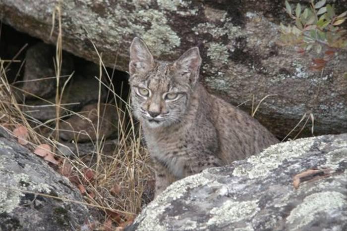 Iberian Lynx (J Lees)