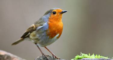 There's something nostalgic and entirely contemplative about the way the Robin sings