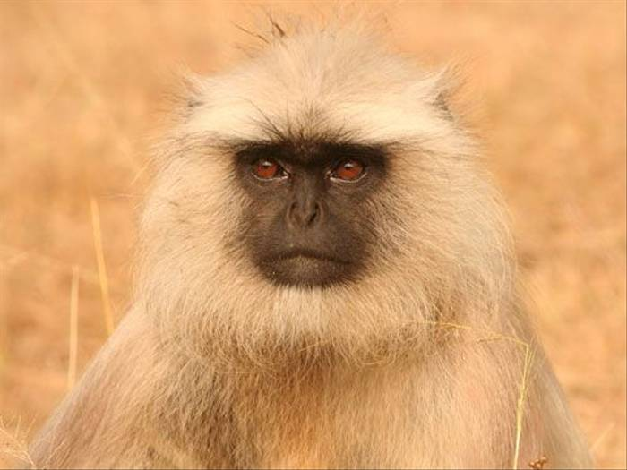 Common Langur (Tony Yeomas)