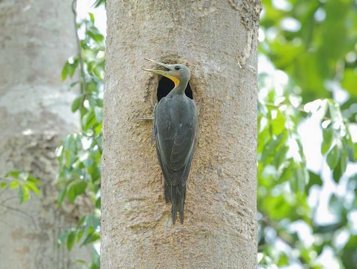 Great Slaty Woodpecker shutterstock_644519689.jpg