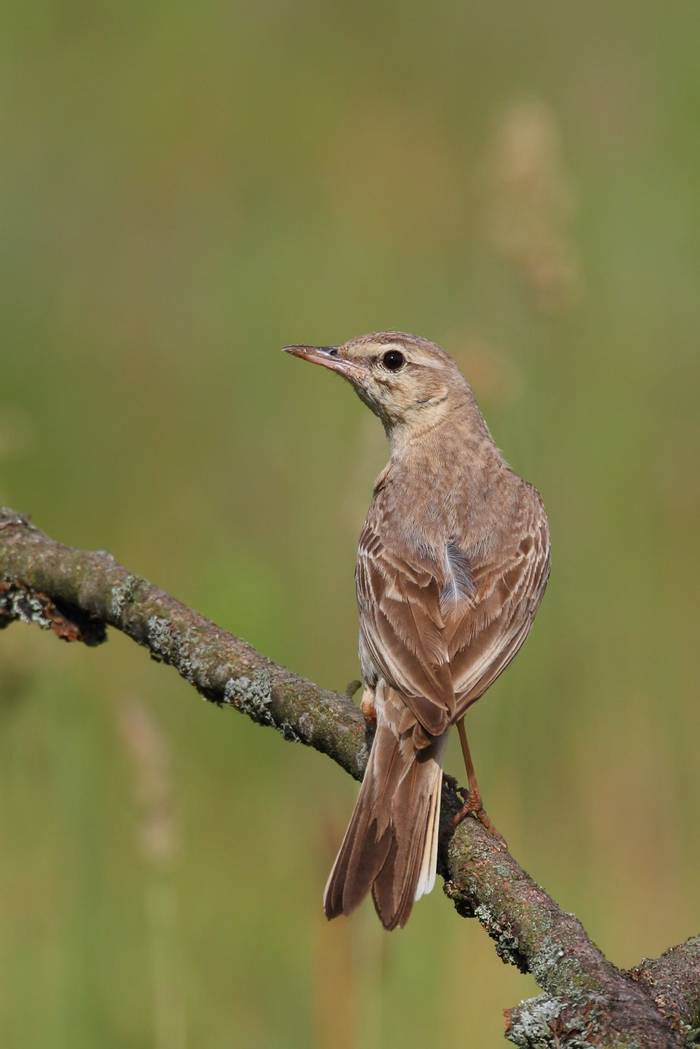 Tawny Pipit Shutterstock 593407883