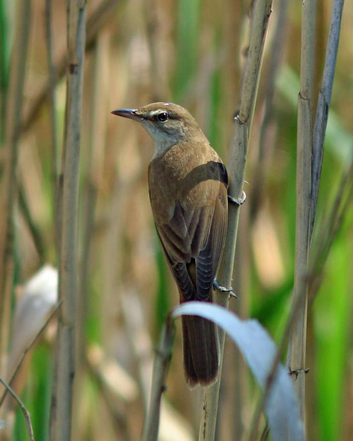 Great Reed Warbler (R. Davidson)