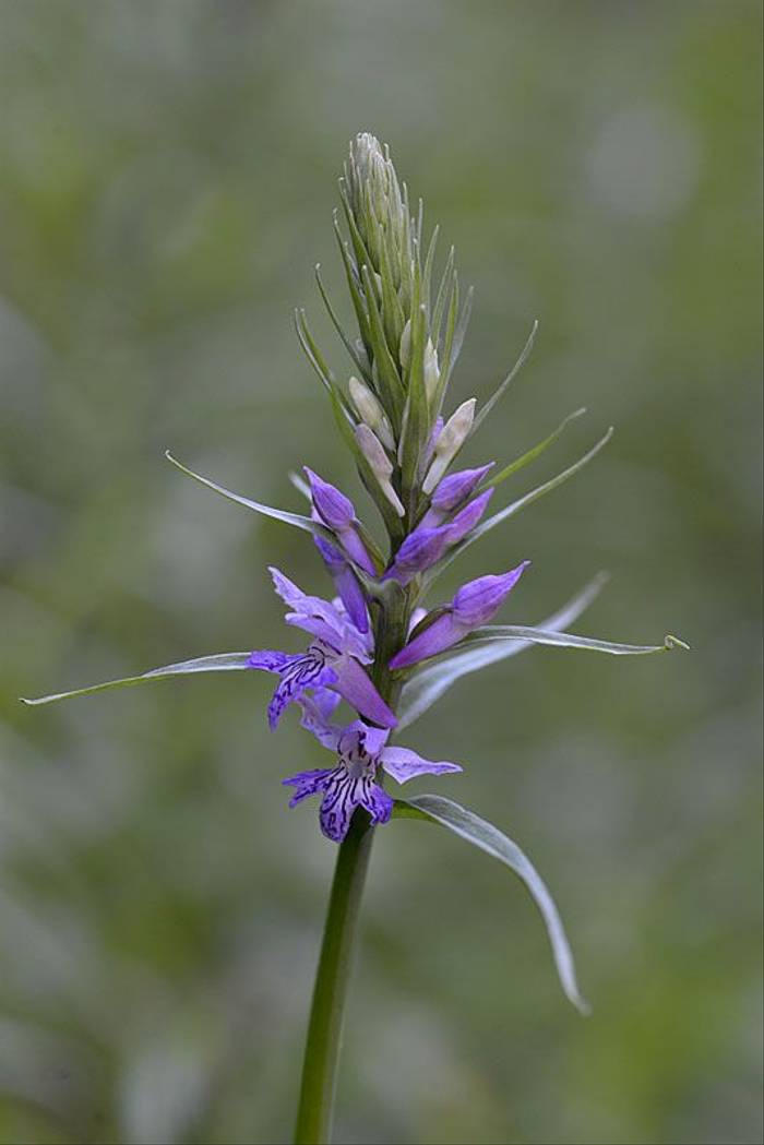 Wedge-lipped Orchid, Dactylorhiza saccifera (Andrew Cleave)