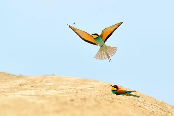 European bee-eater, Italy shutterstock_38320456.jpg