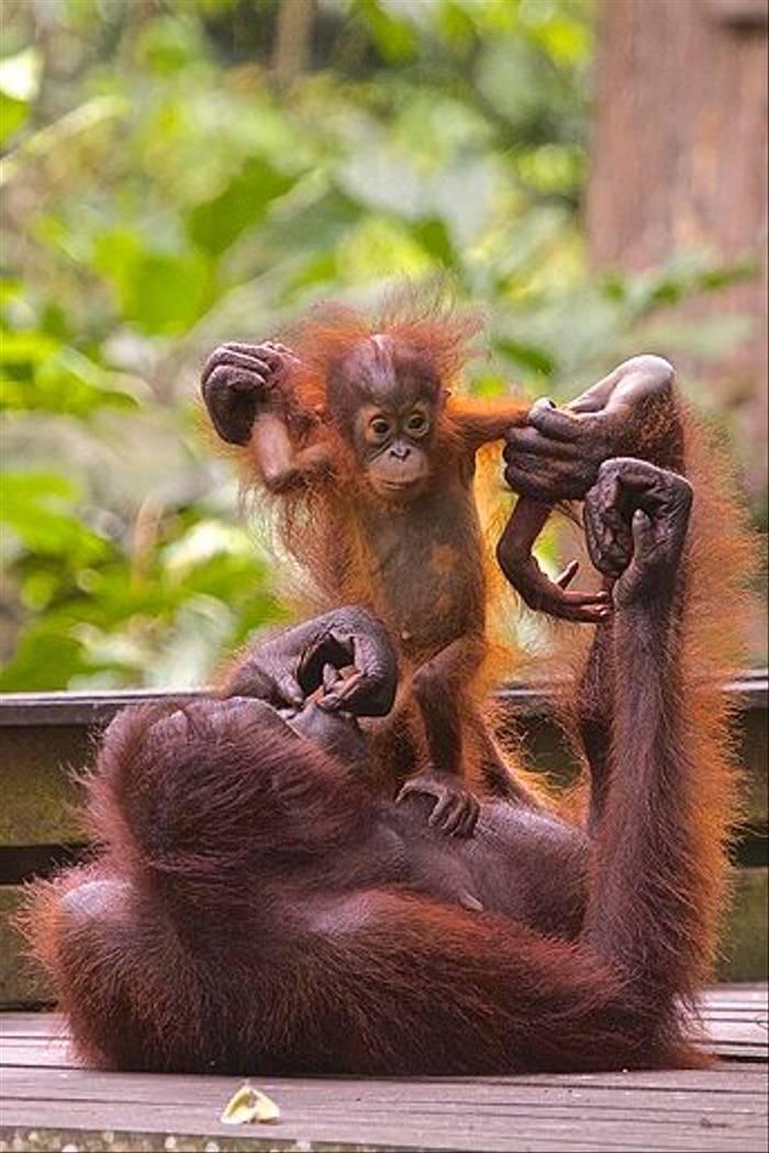 Mother and Baby - Sepilok (Dani Free)