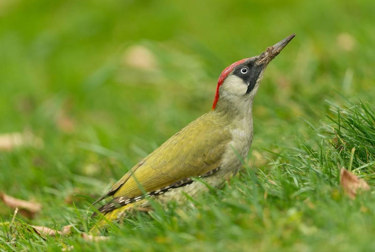 Green Woodpecker shutterstock_357258029.jpg