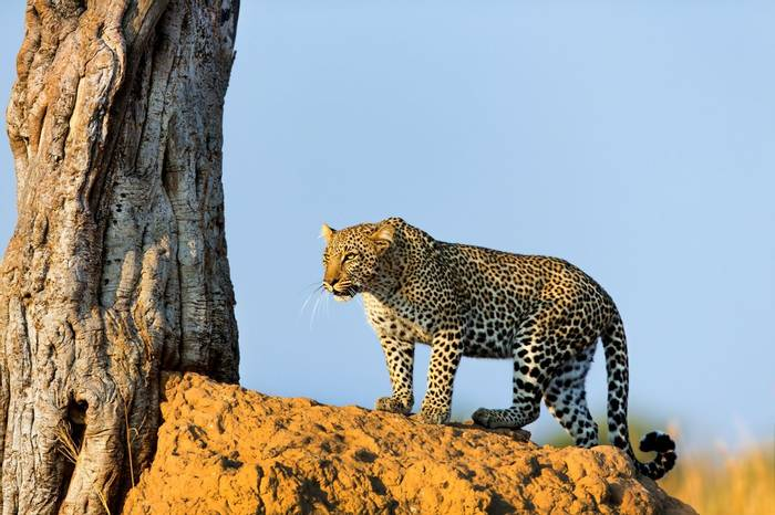 Leopard, Tanzania Shutterstock 149795627