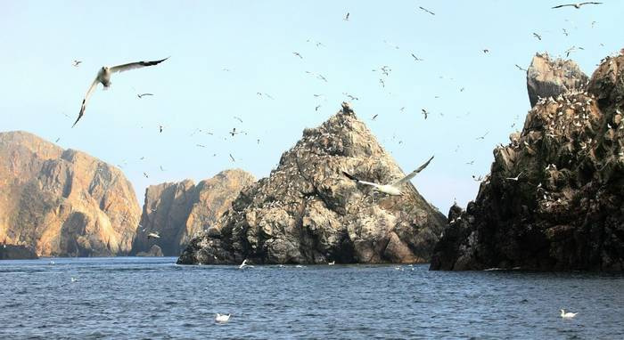 Gannet colony Les Etacs Alderney (Martin Batt)