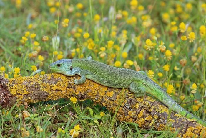 Balkan Green Lizard (Lacerta trilineata) - Bobby Bok