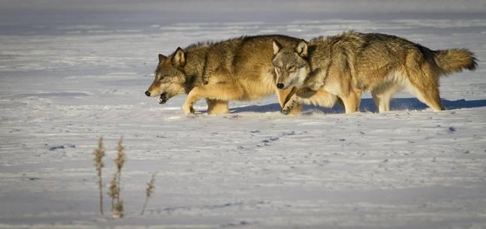 Wolves yellowstone shutterstock_186550106.jpg